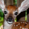 Rescued fawns