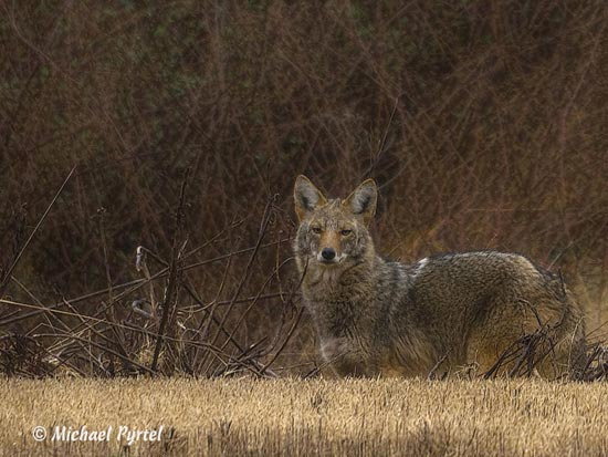 Coyote in the Tall Grasses